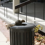 Trash Squirrel